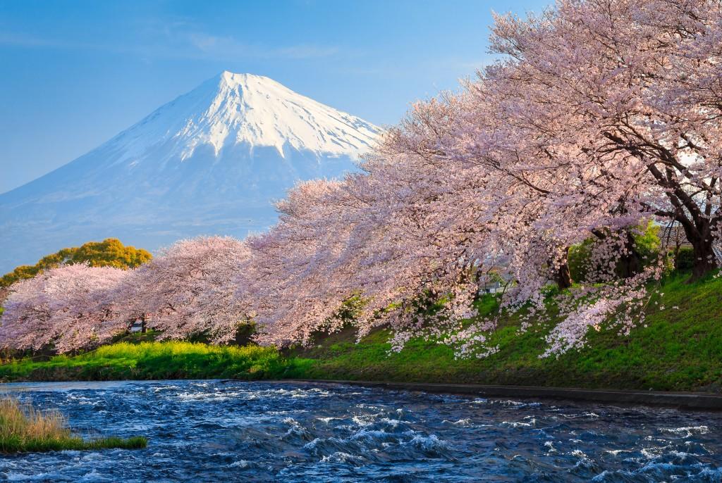 Fuji and Sakura at river in the morning