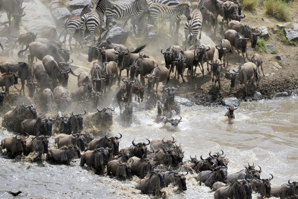 Wildebeest crossing the Mara River 02